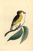 Violaceous euphonia