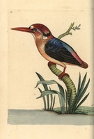 Black-backed kingfisher, Oriental dwarf kingfisher