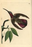 Green-throated mango hummingbird