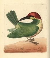 Bay-headed bee-eater