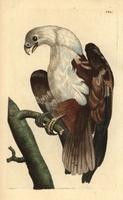 Brahminy kite, Coromandel eagle