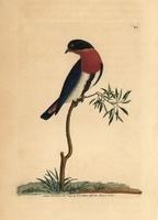 Swallow warbler
