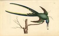 Fork-tailed hummingbird 20042001785| 写真素材・ストックフォト・画像・イラスト素材|アマナイメージズ