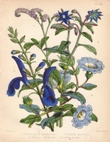 Sage, borage, heliotrope, Chilean bellflower