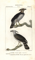 Harpy eagle, Harpia harpyja, and crested eagle, Morphnus gui