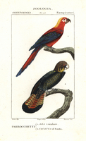 Cuban red macaw, Ara tricolor, and red-tailed black cockatoo