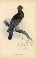 Norfolk Island Pigeon, Hemiphaga novaeseelandiae spadicea