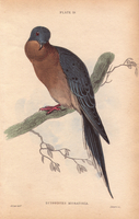 Passenger pigeon, Ectopistes migratorius,