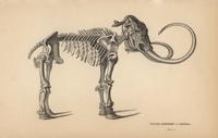 Siberian elephant or mammoth, Mammuthus primigenius 20042001919| 写真素材・ストックフォト・画像・イラスト素材|アマナイメージズ