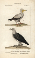 Egyptian vulture, Neophron percnopterus, and bearded vulture