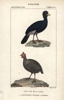 Alagoas curassow, Mitu mitu, and helmeted guineafowl, Numida