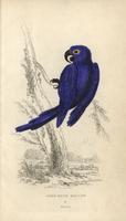 Hyacinth macaw, Anodorhynchus hyacinthinus.