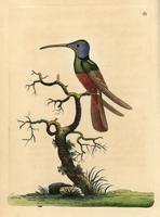 Harlequin hummingbird, Trochilus multicolor