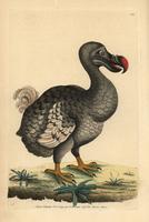 Dodo, Raphus cucullatus, Didus ineptus
