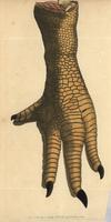Leg of a dodo, Raphus cucullatus, Didus ineptus