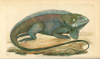 Green iguana, Iguana iguana 20042001949| 写真素材・ストックフォト・画像・イラスト素材|アマナイメージズ