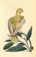 Blue parakeet, Psittacus pallidus