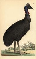 Southern cassowary, Casuarius casuarius