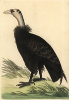 California condor, Gymnogyps californianus.