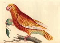 Paradise parrot, Psittacus paradisi.
