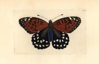 Regal fritillary butterfly, Speyeria idalia.