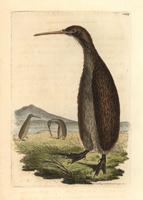 Brown kiwi, Apteryx australis.