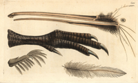 Beak, foot, feather and claw of the brown kiwi, Apteryx aust