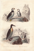 Puffin, Fratercula arctica, great auk, Pinguinus impennis, a