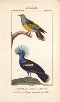 Bruce's green pigeon, Treron waalia, and crowned pigeon, Go