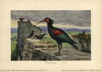 Geronticus balcanicus, ancient Bald Ibis
