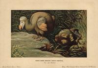Dodo, Didus ineptus
