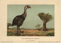 Moa, Dinornis novaezealandiae