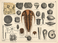 Trilobite, sponge and zoophyte fossils.  20042002370| 写真素材・ストックフォト・画像・イラスト素材|アマナイメージズ