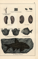 Animal, shell and fish fossils.