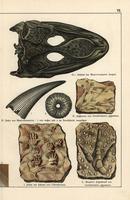 Fossil amphibian skull, tooth, footprints.