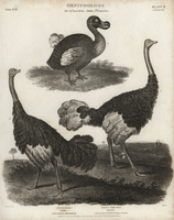 Dodo, Raphus cucullatus, and male and female ostrich.