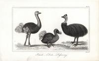 Dodo, Raphus cucullatus, ostrich and cassowary.