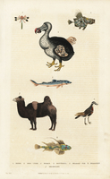 Dodo, Raphus cucullatus, camel and fish.