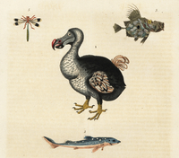 Dodo, Raphus cucullatus, fish and dragonfly.