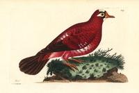 Crimson pigeon, Columba rosea.