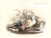 White Reunion dodo, Raphus solitarus.