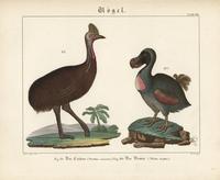 Dodo, Raphus cucullatus, and cassowary.
