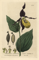 Lady's slipper orchid, Cypripedium calceolus.