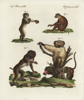 Barbary macaque, Macaca sylvanus 3.
