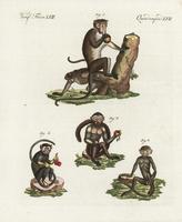 Toque macaque, Macaca sinica 1.