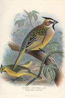 Green cardinal, Gubernatrix cristata.