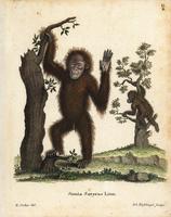 Sumatran orangutan, Pongo abelii.