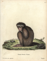 Barbary ape or macaque, Macaca sylvanus.