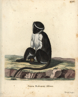Roloway monkey, Cercopithecus roloway.