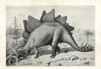Stegosaurus ungulatus.